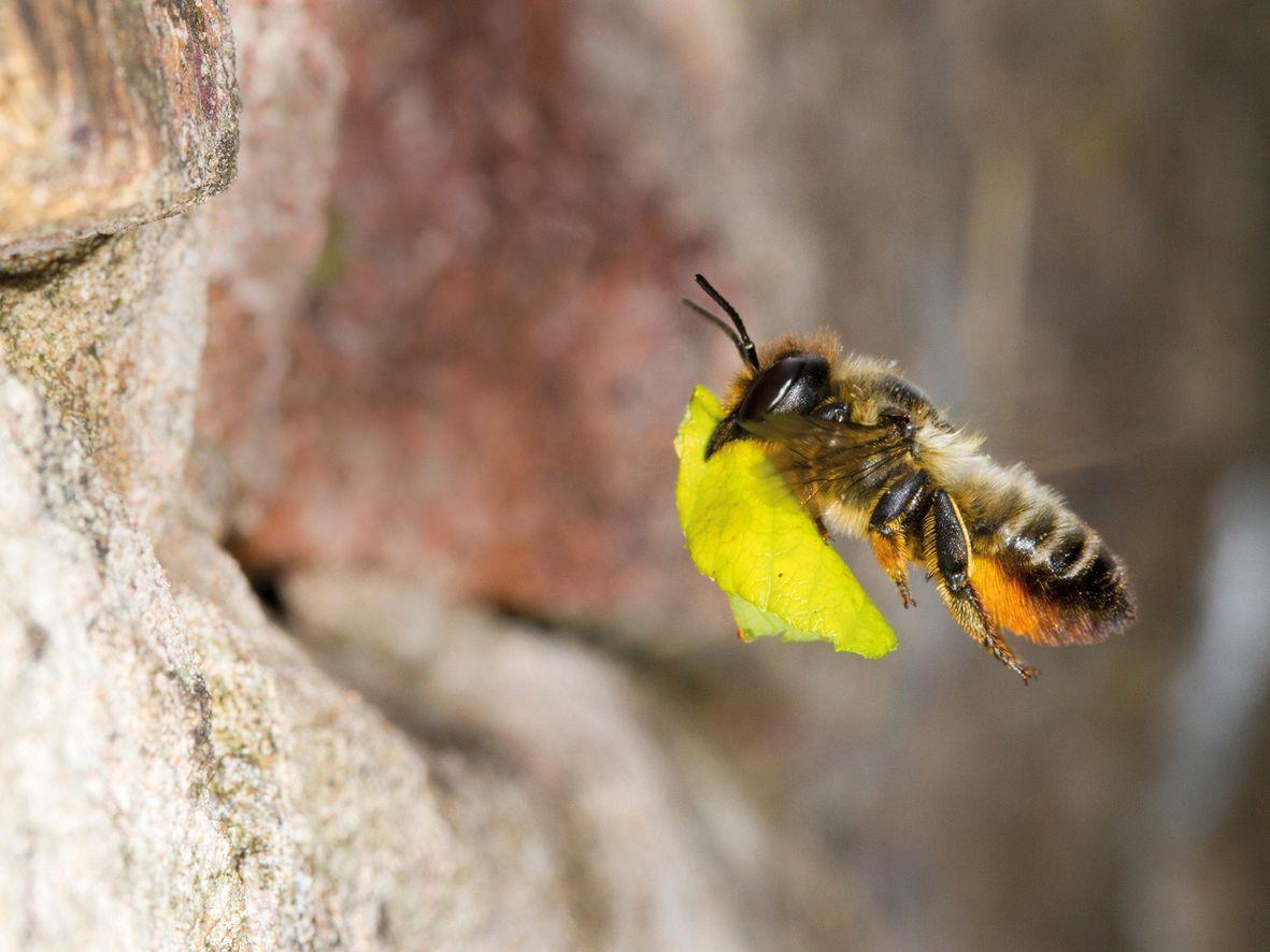 Leaf-cutting bees
