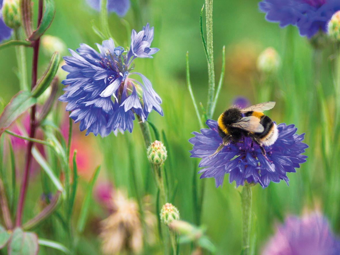 White-tailed bumblebee