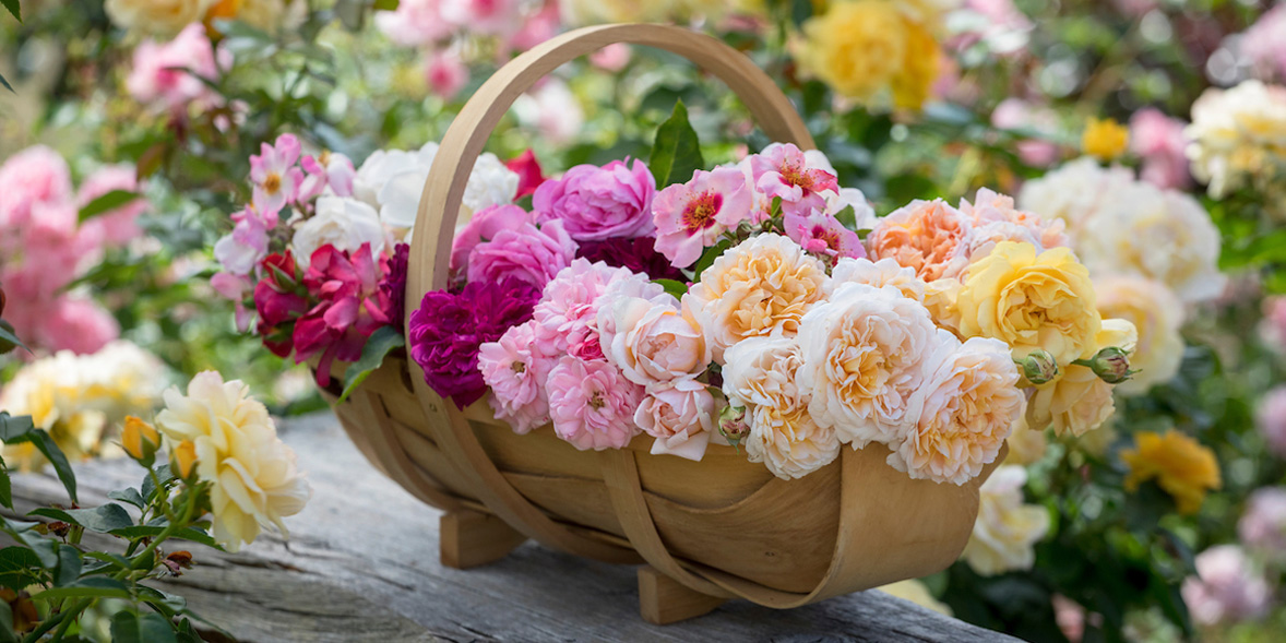 Roses in a trug