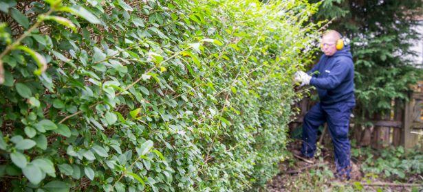 When should I cut a privet hedge?