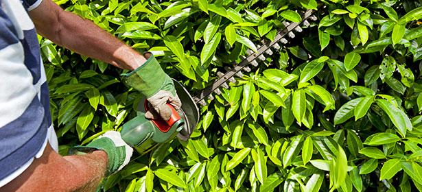 When should I cut a laurel hedge?