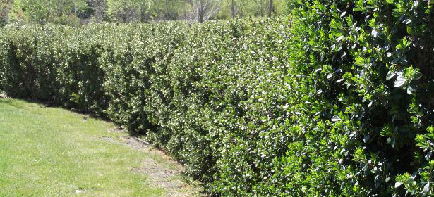 When do I trim a berberis hedge?