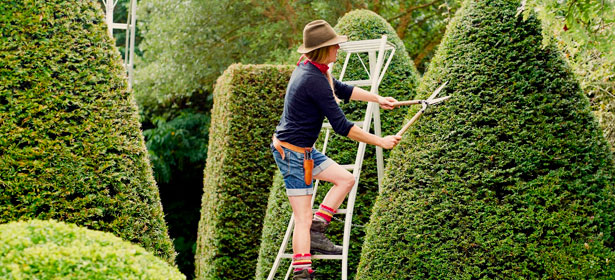 Standing on a ladder and trimming a hedge