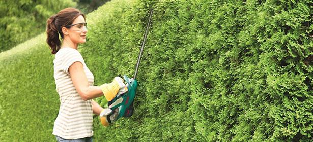Cutting a yew hedge 431468