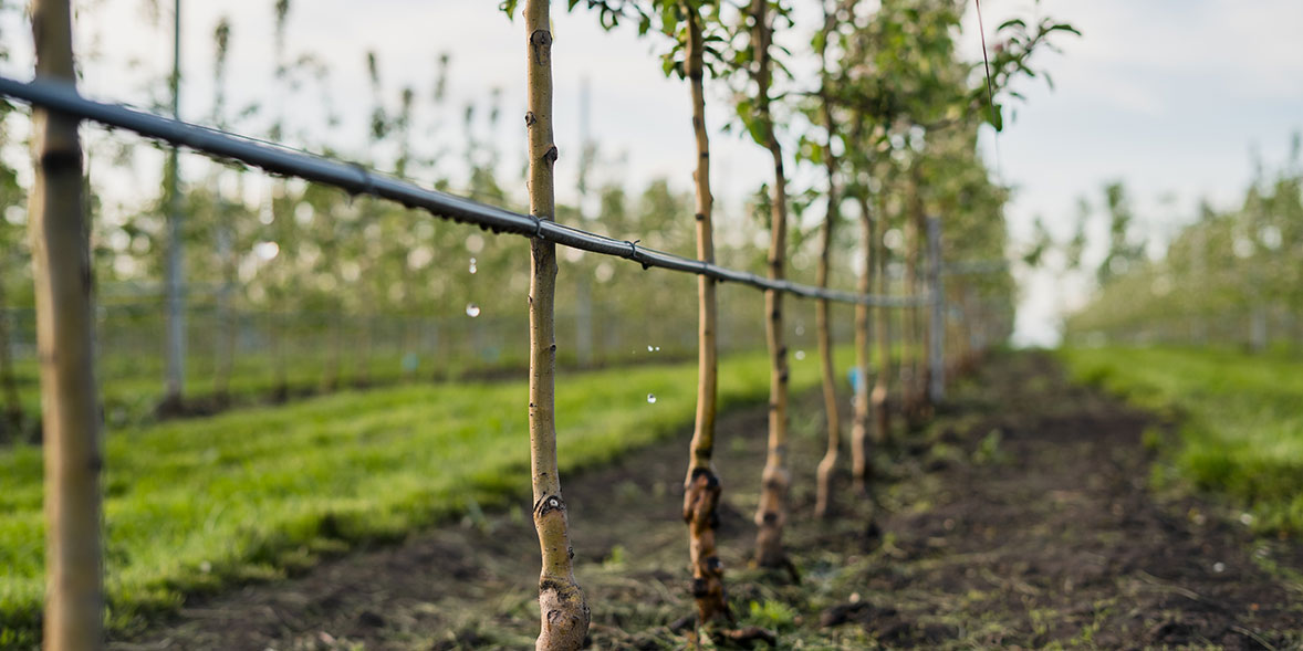 Young tree plantation