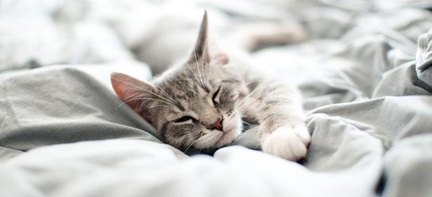 sleeping grey cat on bed