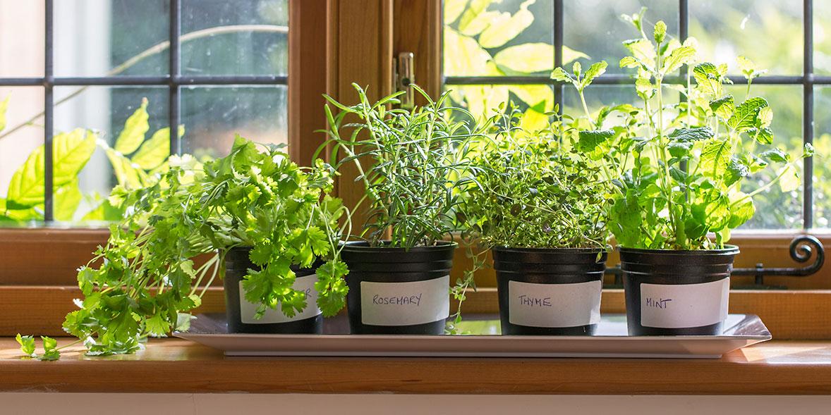 herbs grow indoors mint thyme rosemary