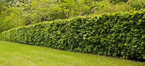 When should I cut a beech hedge?