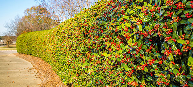 When should I trim a holly hedge?