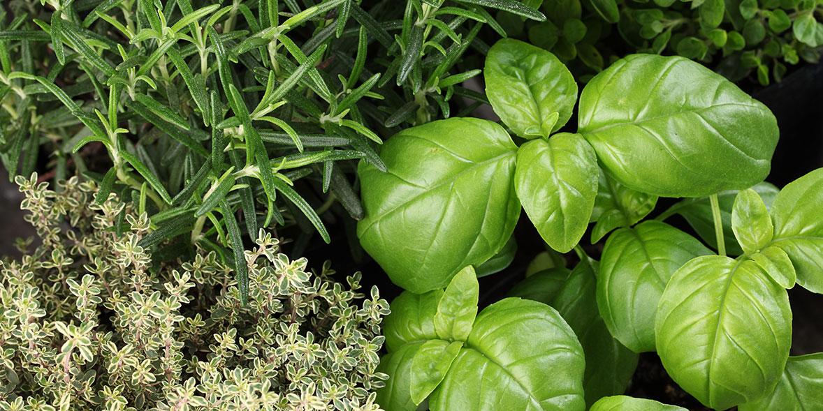 herbs rosmary thyme basil