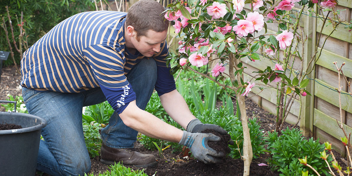 Mulching around a camellia