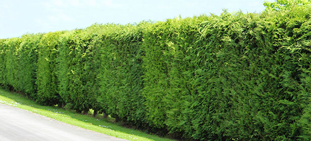 When should I cut a leyland cypress hedge?