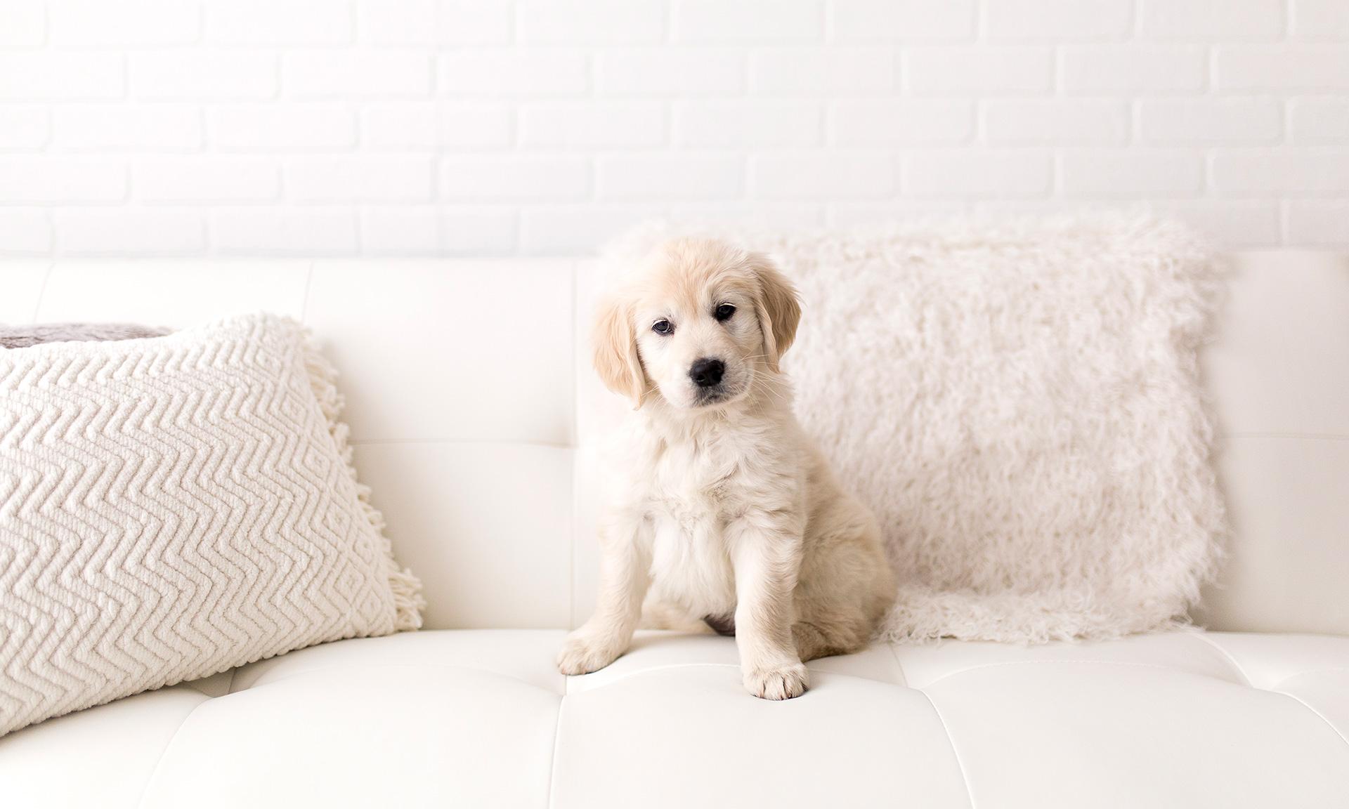 Labrador puppy sat on a sofa