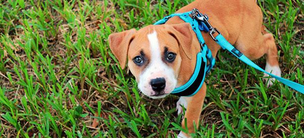 puppy wearing dog harness on walk