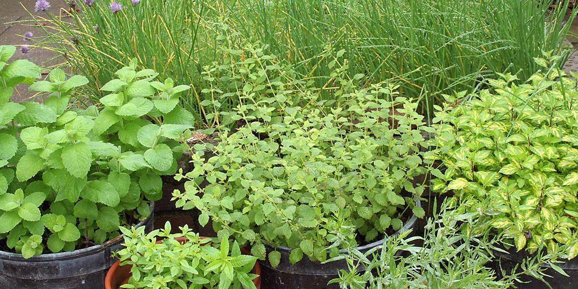 herbs grow outdoors garden