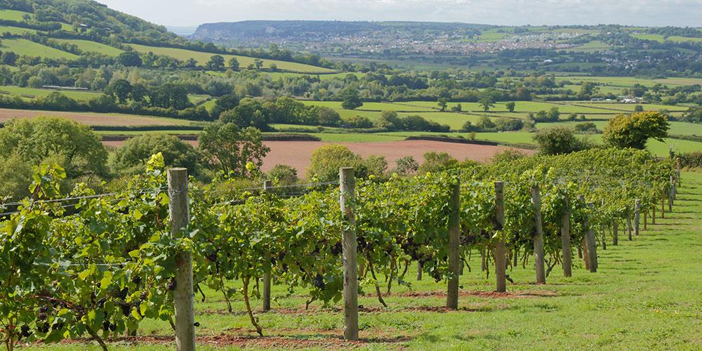 English vineyard